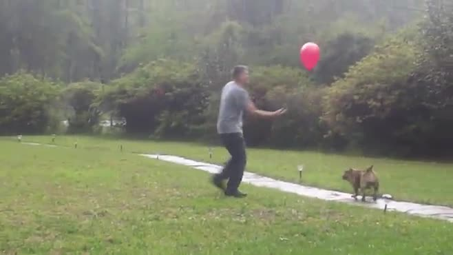 Dog plays with balloons