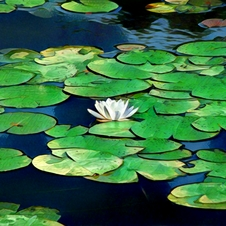 Magical Water Lily V2