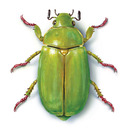 Chrysina%20(drop%20shadow)