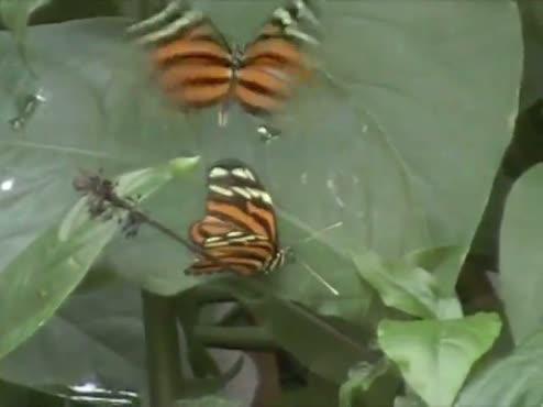 butterflies for via